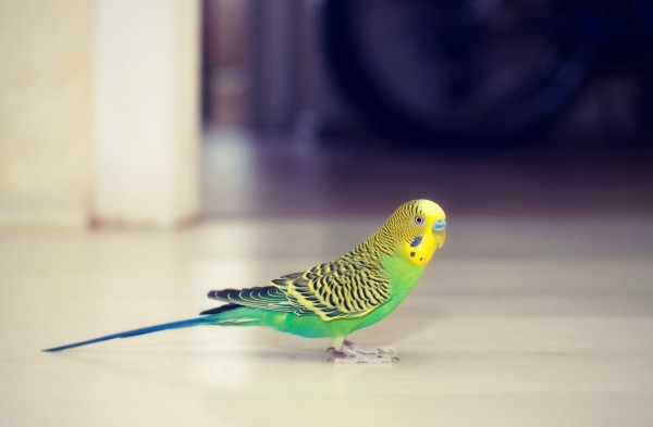 Budgies walks on the floor