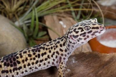 Leopardgecko im Terrarium