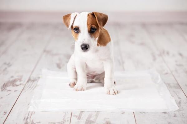 トイレトレーニングを行う犬
