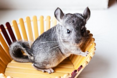Little gray chinchilla sits in a wooden bowl