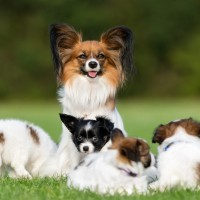Papillon dog mother and her four young puppies