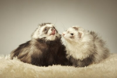 Nice ferret couple in studio on fur