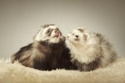 Nice ferret couple in studio on fur