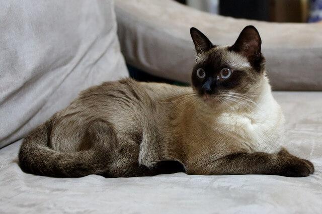向を見ているシャム猫