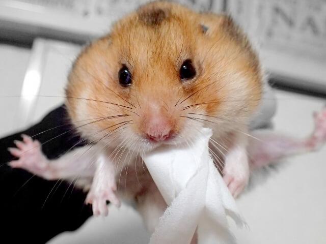 紙をくわえたハムスター