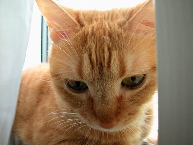 【ネコ】茶トラの性格の2大特徴とは?しつけと飼育のコツを ...