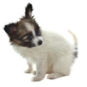 子犬のパピヨン