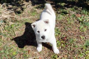 紀州犬の子犬