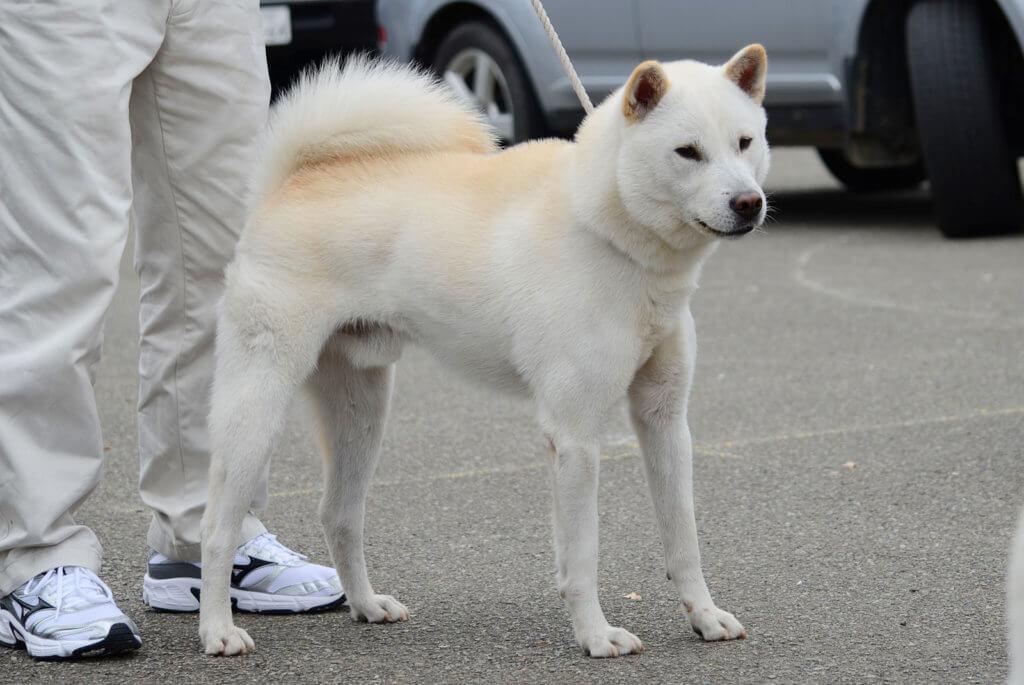 ヨゴレ白の紀州犬の名犬
