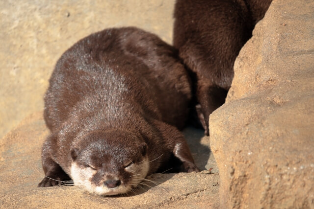 岩場で寝ているカワウソ