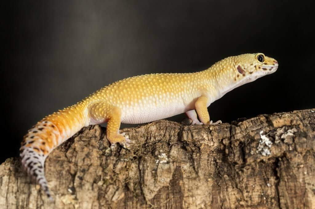 Leopard gecko on a tree trunk