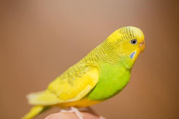緑と黄色の毛色のインコ