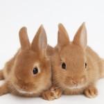 Rabbits.Netherland Dwarfs.