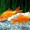 金魚の寿命解説!健康寿命の4つのコツとは