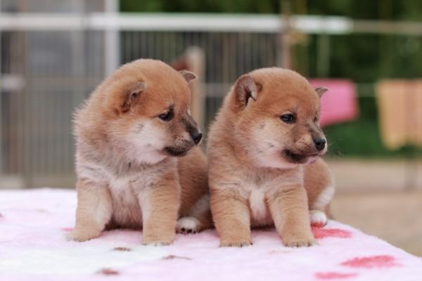 2匹の子犬の柴犬