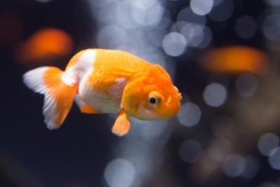 水槽で泳いでいる金魚