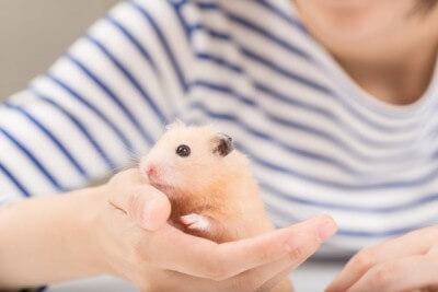 手のひらに触れるハムスター