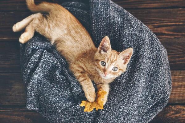 もみじの葉を持つ猫