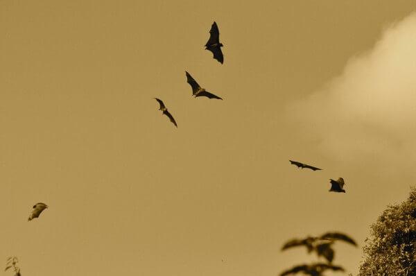空を飛んでいるコウモリ