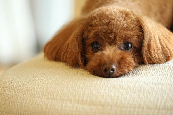 人気の犬種ランキング・ベスト133種【2018年最新版】