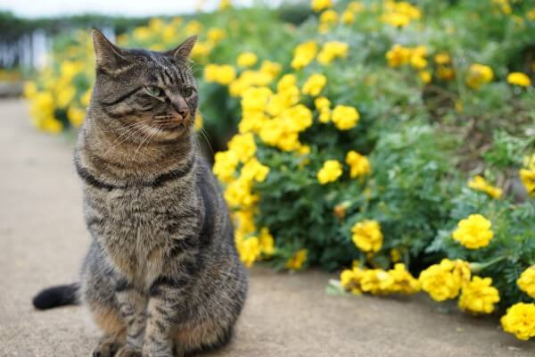 キジトラ猫と花