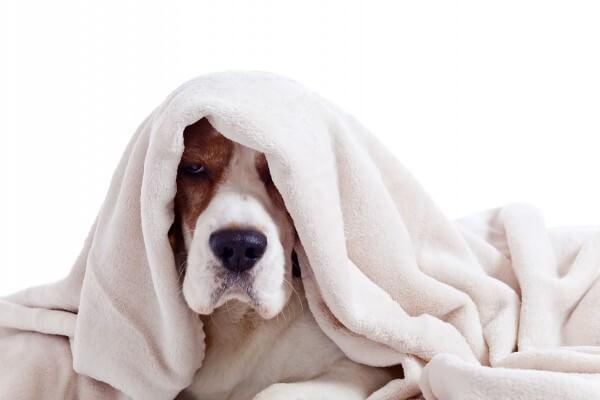 白いブランケットを羽織る犬