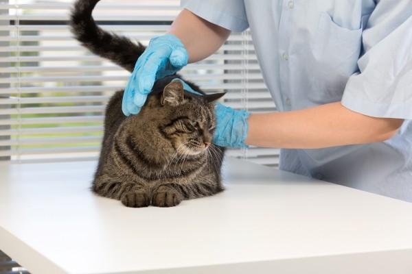 猫の診察を行う医者