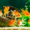 金魚の飼い方解説!グッズ・給餌・飼育の注意点