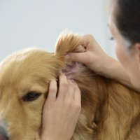 犬の耳をチェック
