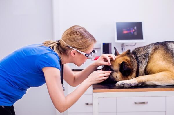 犬の目の検査を行う医師