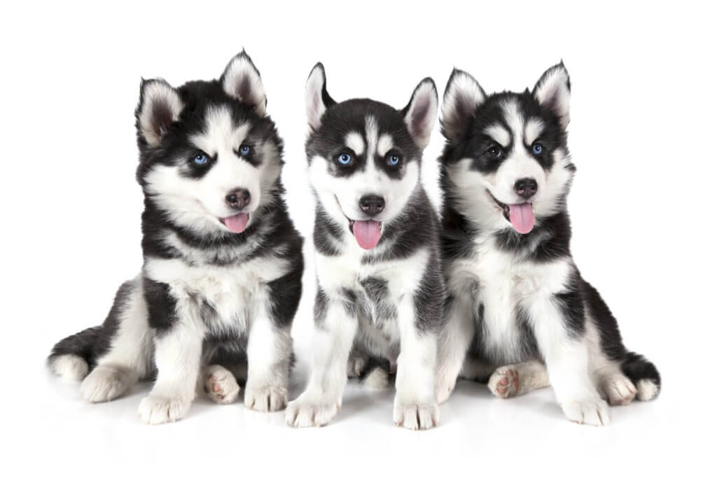 3匹のシベリアンハスキーの子犬