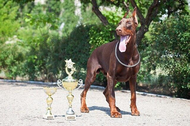 ドーベルマンのチャンピョン犬