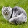 ペルシャ猫の性格の3大特徴!しつけのコツと注意点とは