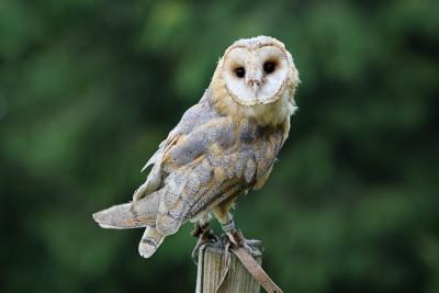 Beautiful elegant barn owl