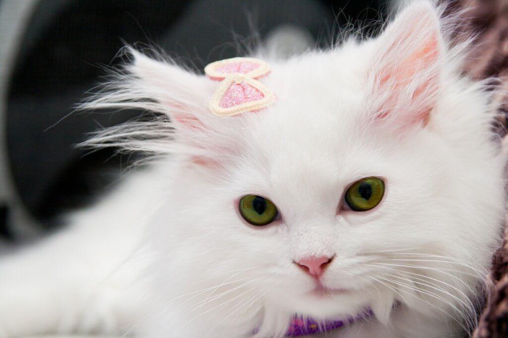 白猫のペルシャ