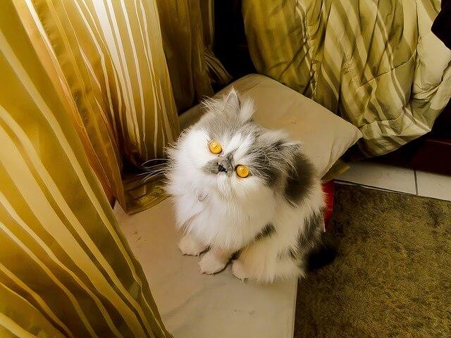 見上げるペルシャ猫