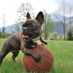 ボールとフレンチブルドッグ