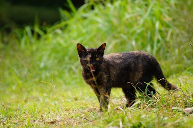 野原を歩くサビ猫