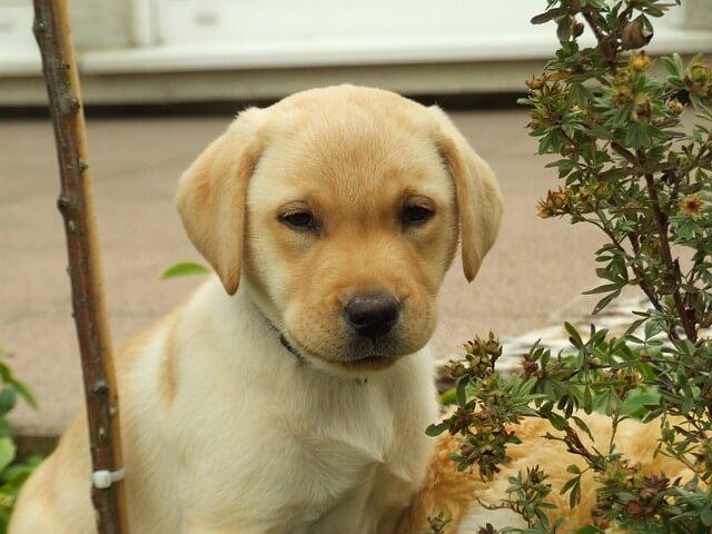 子犬のラブラドールレトリバー