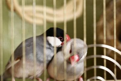 ケージの中にいる文鳥