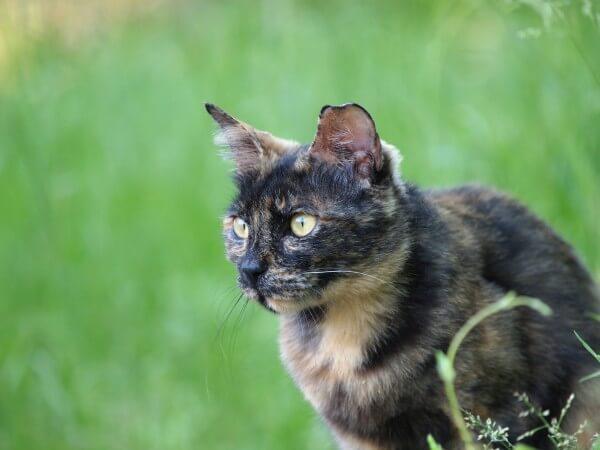 草むらにいるサビ猫