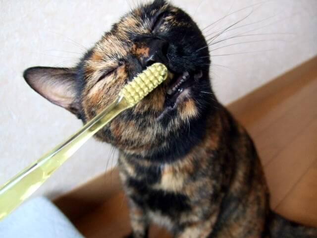 歯磨きをするサビ猫