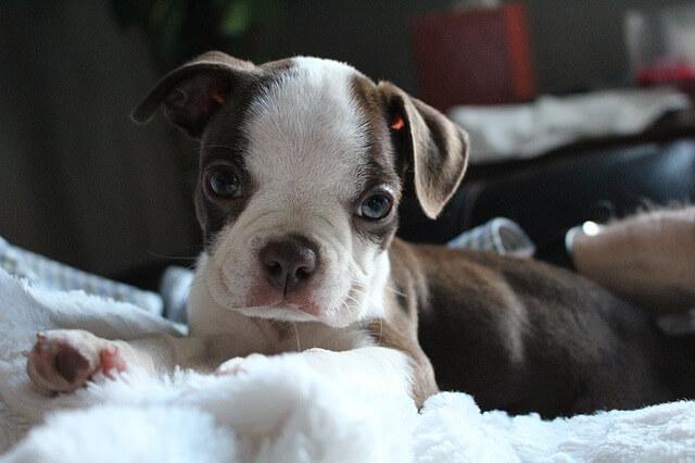 茶白の子犬のボストンテリア
