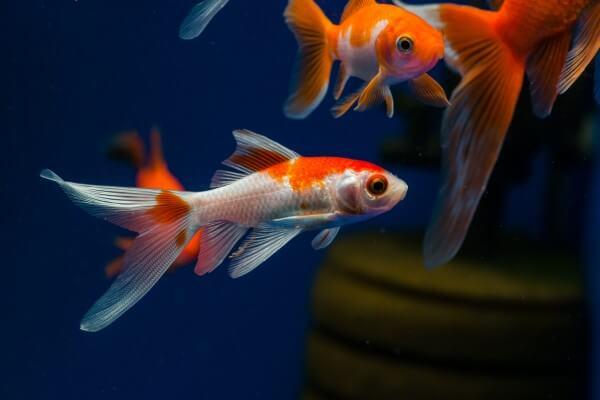 金魚のコメット