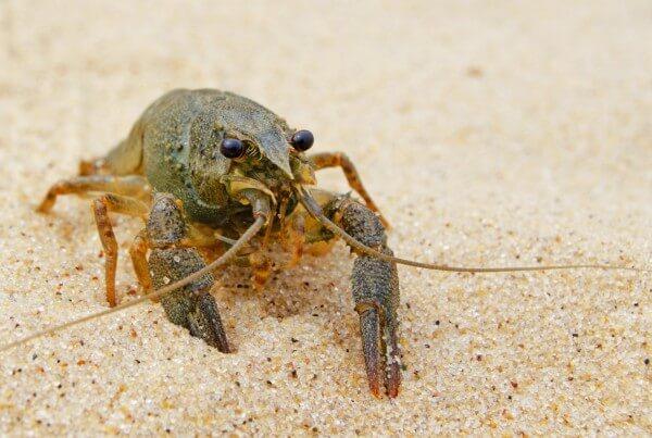 砂の上を歩いているザリガニ