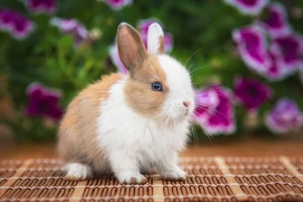 【ウサギ】ミニウサギの飼い方を紹介!飼育の4つのコツと注意点とは?