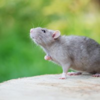 grey pet rat posing outdoors