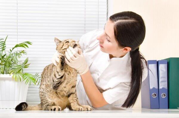 猫の歯の検査をしている医者