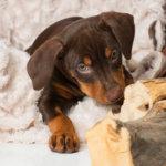 ジャーマンピンシャーの可愛い子犬