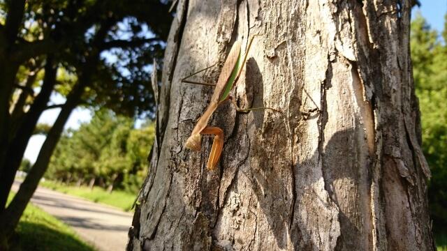 木に登ったオオカマキリ